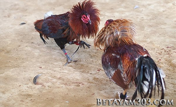 Sabung Ayam, S128, S1288