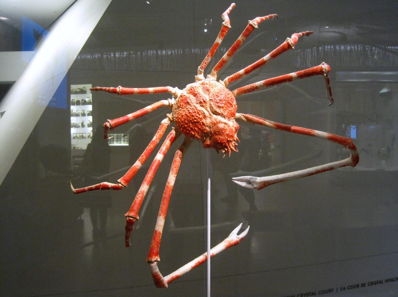 Spider crab - photo#32