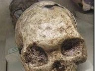 Spesimen  (penggolongan)  Manusia  Homo  Sapiens