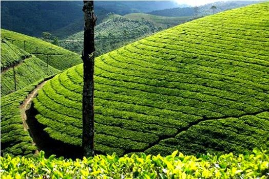 munnar tea plantations, sightseeing in munnar, tea plantations visit in munnar