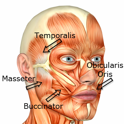 For that Facial muscle functions opinion you