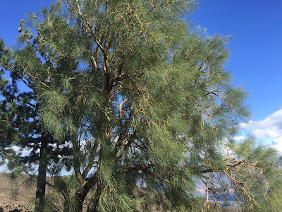 Genista aetnensis – Mount Etna broom or la ginesta dell'Etna