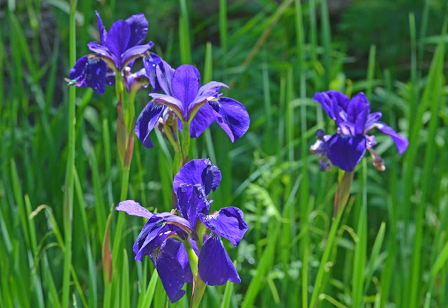 deep purple siberian iris flowers