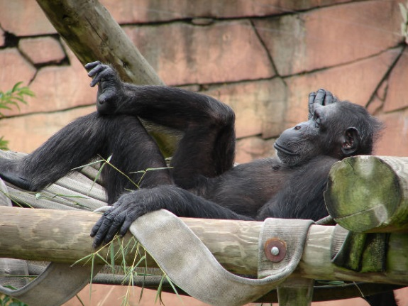 Human chimpanzee DNA not as similar as we were told