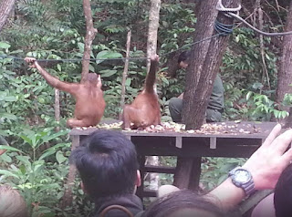 Things To Do In Kota Kinabalu - Shangrila's Orangutan Care Project
