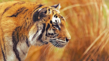 Tiger, 4K, 3840x2160, #53