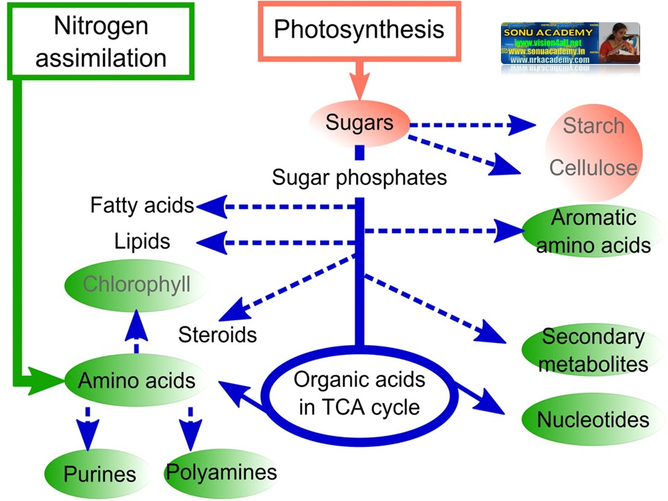 basic photsynthesis Photosynthesis vs the food chain ultimately, the source of all food on this planet is autotrophs plants use light energy to produce food chemicals, and the light energy is thus stored in the bonds of the food molecules.