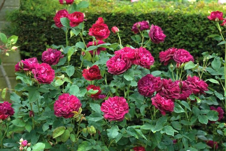 Rosa Darcey Bussell. Rosas inglesas en una abadía francesa. Rosaleda David Austin en Abbaye de Morienval, Francia