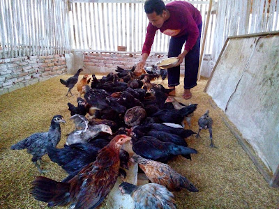 Ayam Kampung Bertelur Setiap Hari