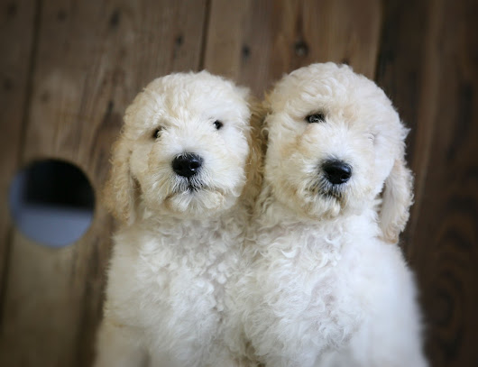 F1b English Cream Goldendoodles//2 males ready today!!
