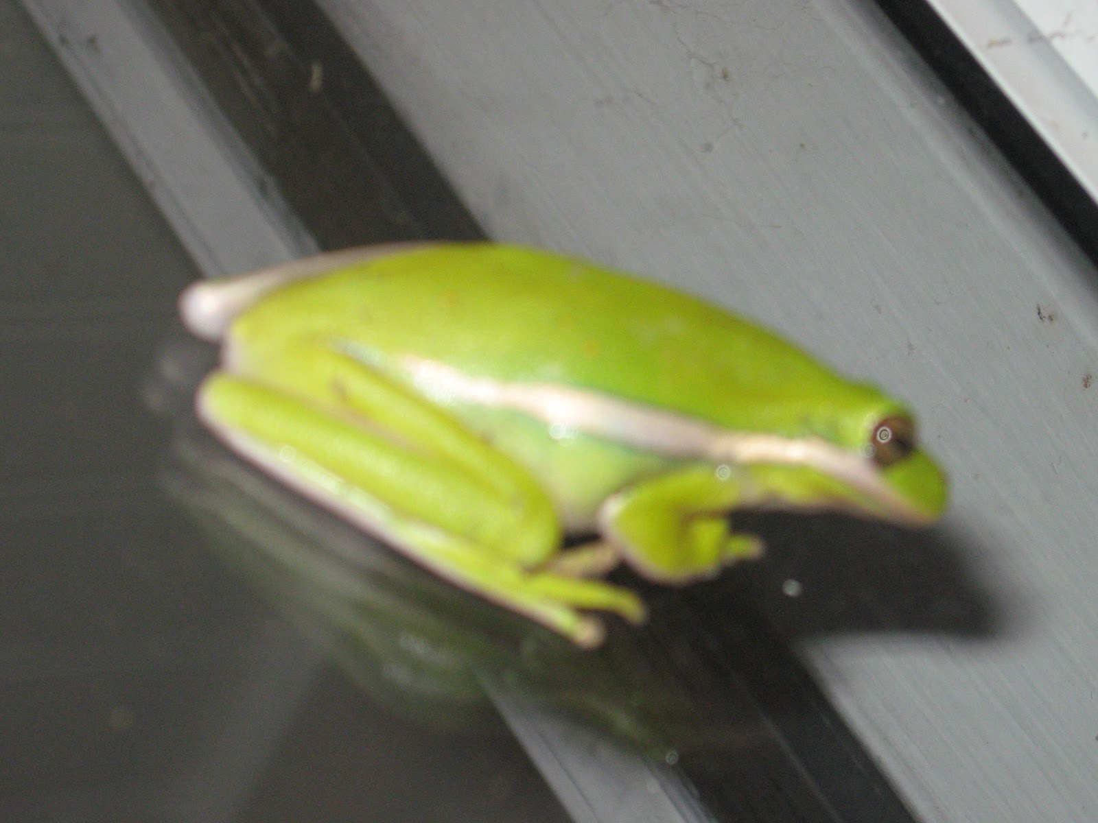 Prime Pest Solutions Green Tree Frogs
