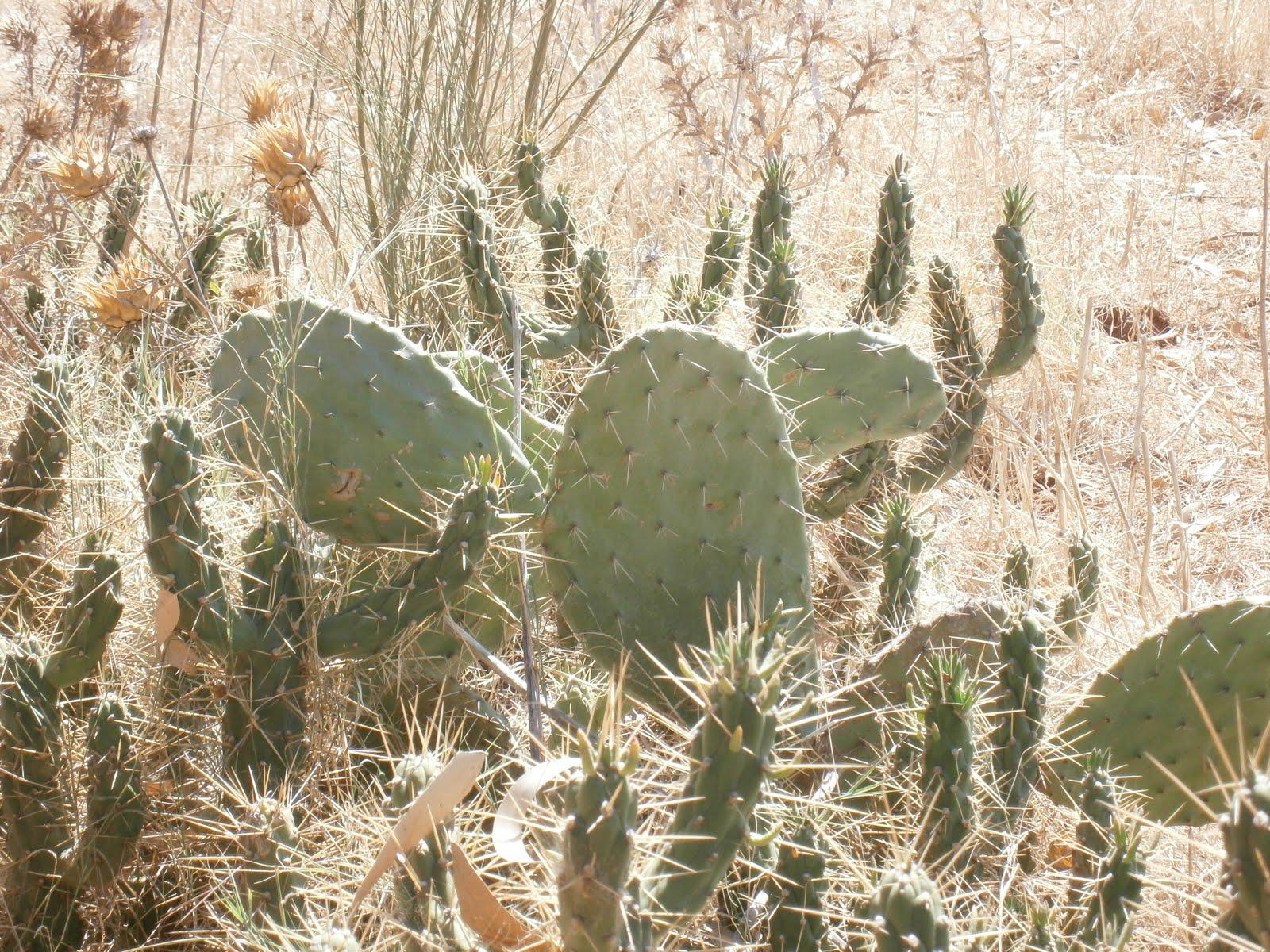 plantes et fleurs de mon jardin photo d 39 un cactus figuier de barbarie. Black Bedroom Furniture Sets. Home Design Ideas
