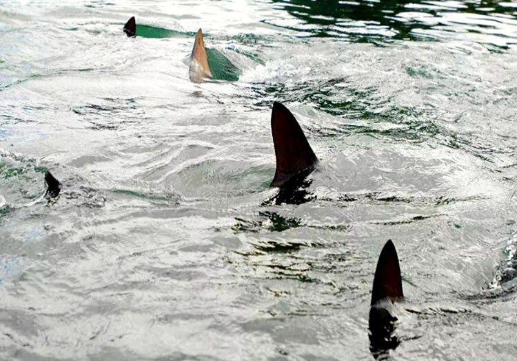 Köpek balığı yüzgeçleri zaman geçtikçe çoğalıyordu, başının ciddi anlamda belada olduğunu anlamıştı.