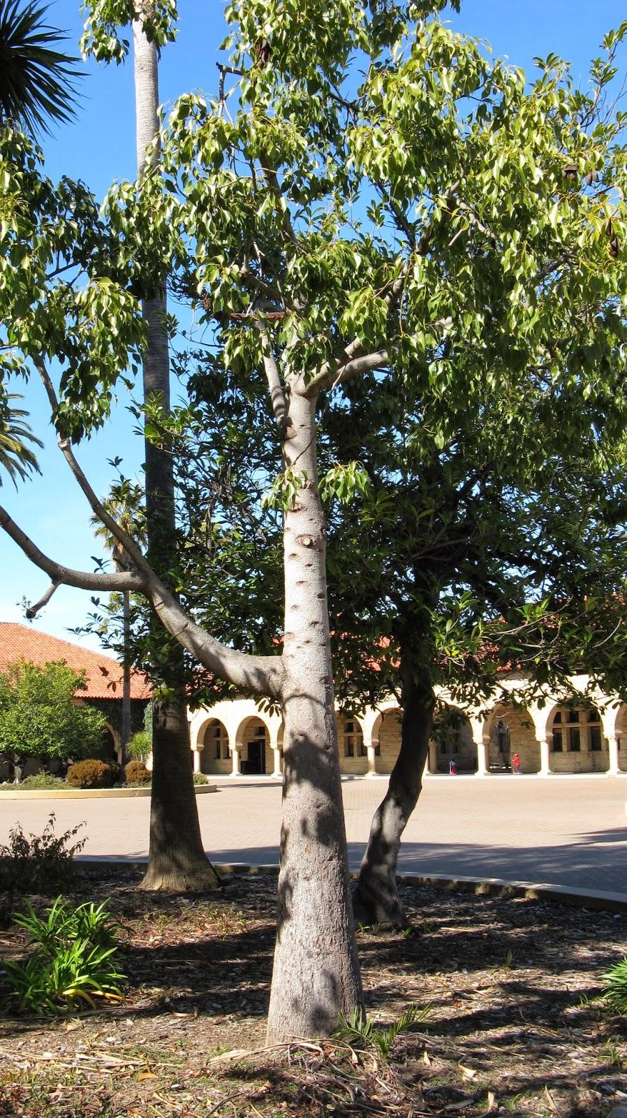 Trees Of Santa Cruz County: Brachychiton Populneus