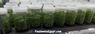 فيديو تعليم زراعة انسجة شتلات باولونيا