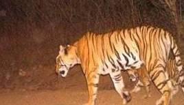 tiger-found-dead-at-tiger-reserve-in-odisha