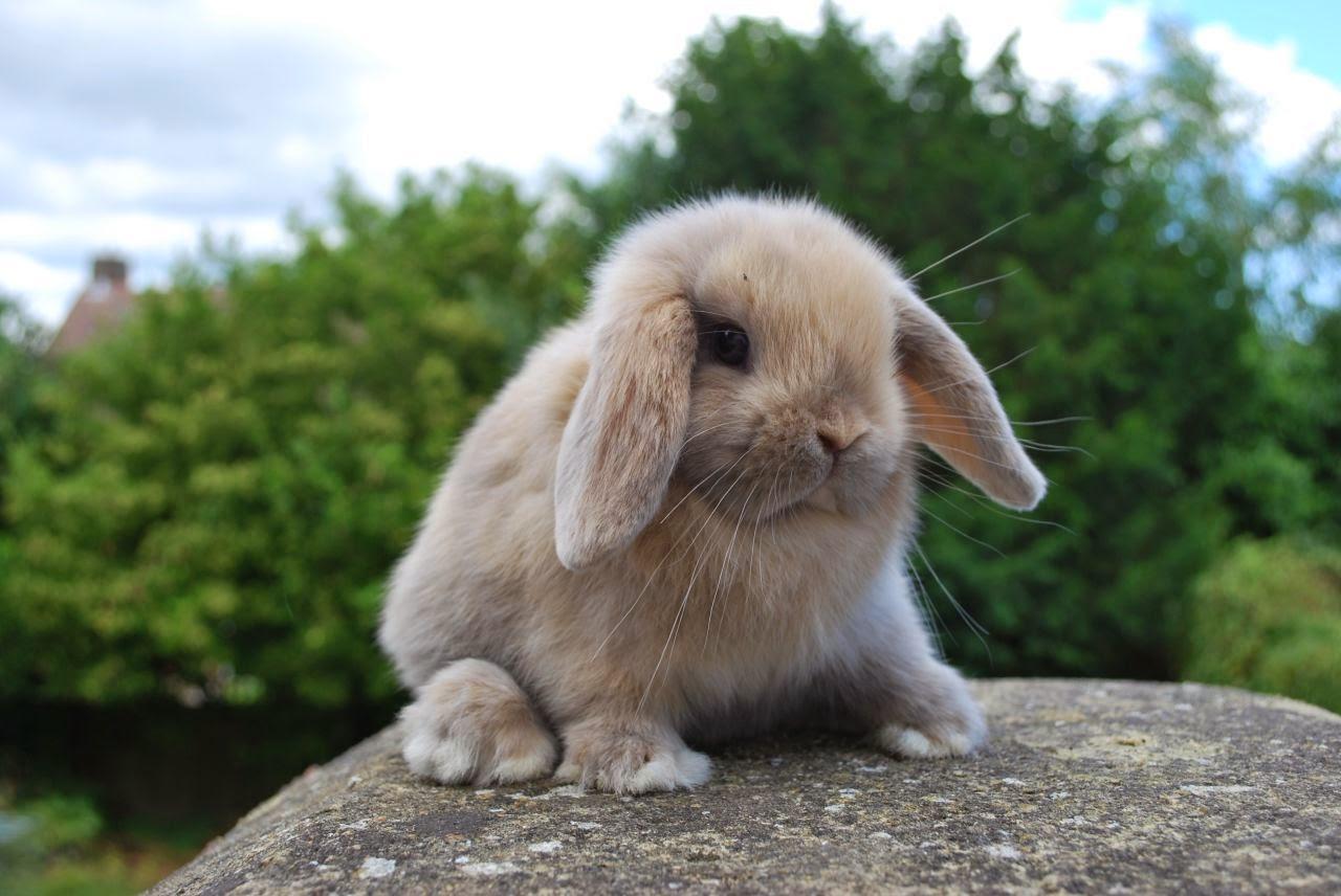 กระต่าย มินิลอป (Mini Lop)