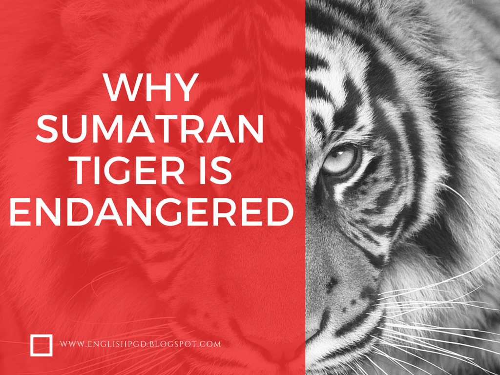 writing argumentative essay sample essays it is sad to know the fact that sumatran tiger panthera tigris sumatrae is on the brink of extinction currently there are only around 400 sumatran