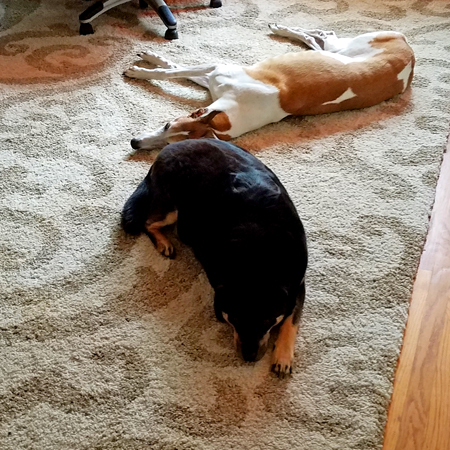 image of Zelda the Black and Tan Mutt and Dudley the Greyhound lying on the floor in Iain's office