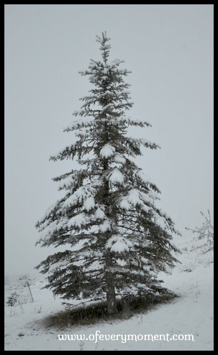 A snow covered tree in Montana
