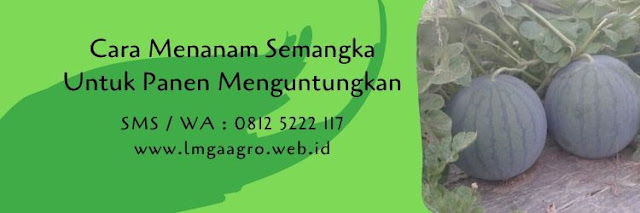 cara menanam semangka,budidaya semangka,benih semangka,bibit semangka,buah semangka,lmga agro