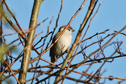 Tree Sparrow, 7th November 2009