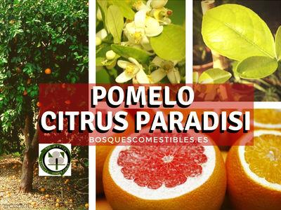 El Pomelo, Citrus paradisi es una hibridación del Pomelo Chino Citrus máxima y el Citrus sinensis