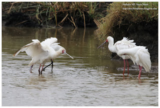 https://bioclicetphotos.blogspot.fr/search/label/Spatule%20d%27Afrique%20-%20Platalea%20alba