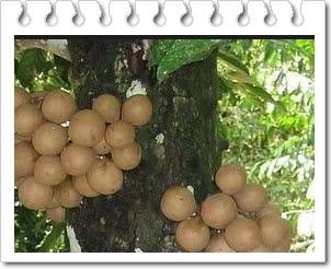 Manfaat buah kepel untuk kesehatan tubuh