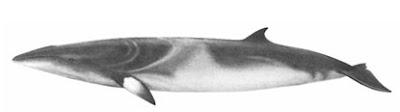 Ballena mink antártica Balaenoptera bonaerensis