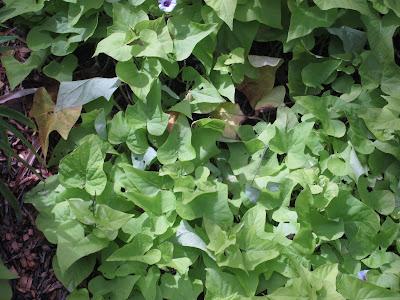 sweet potato, Ipomoea batatas
