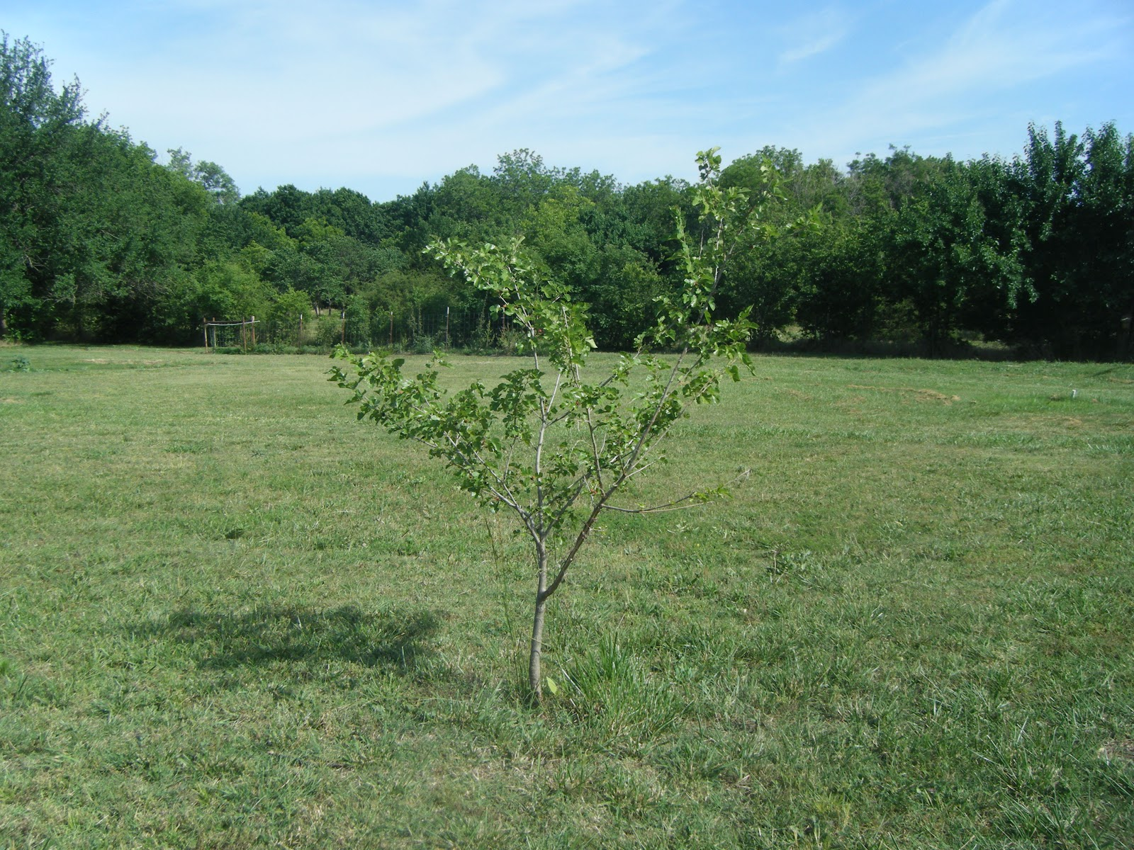 Windy Acres Diary Mulberry Tree