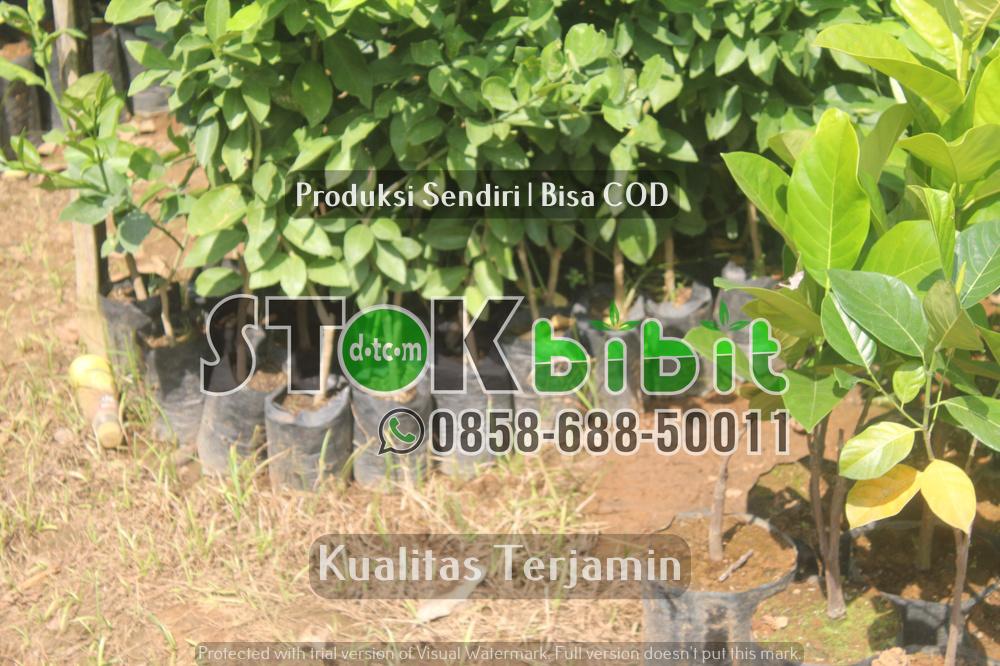 Ketebalan Durian Montong | durian pelangi      Berkwalitas     berkualitas