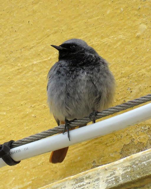 Codirosso spazzacamino (Phoenicurus ochruros), Scali delle Macine, Livorno