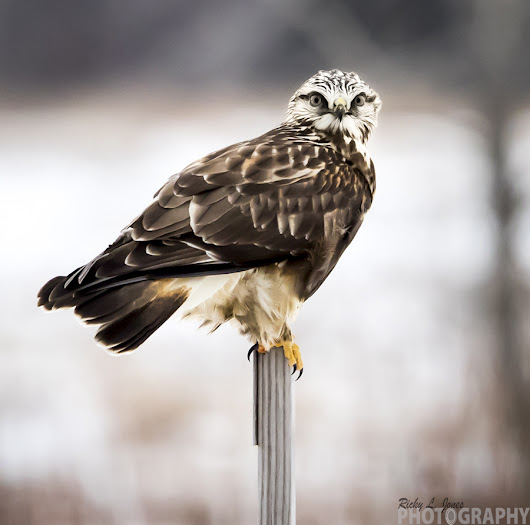 You Looking at me- Rough-Legged Hawk