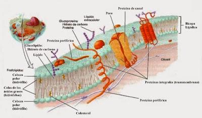 Membrana plasmática celular