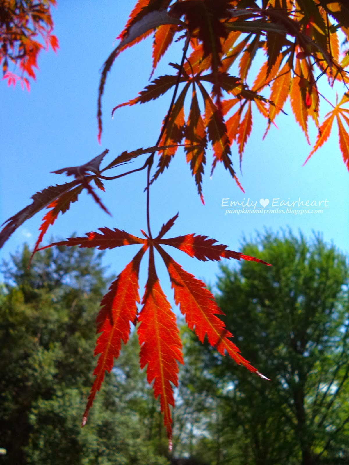 Close ups of dark red Japanese Maple leaves.