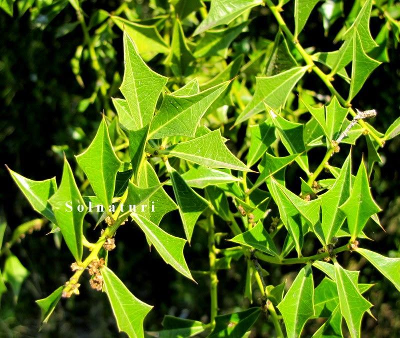 Sombra de toro Jodina rhombifolia