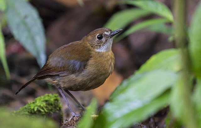 Anis-papua Kecil, Lesser Ground-robin, Amalocichla incerta