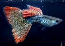 guppy jantan untuk budidaya ikan guppy