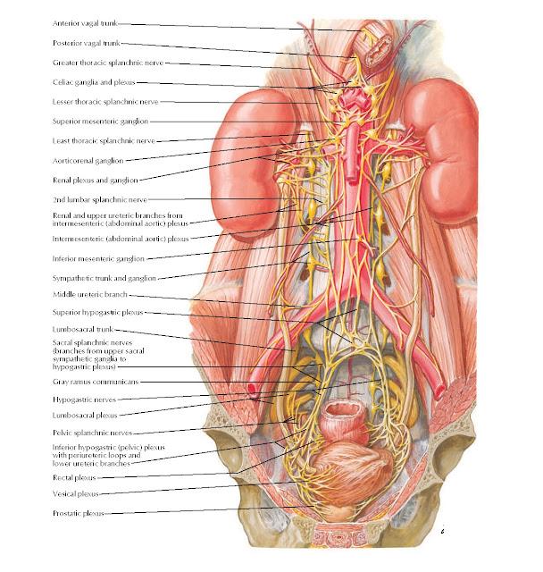 Autonomic Nerves of Kidneys, Ureters, and Urinary Bladder Anatomy