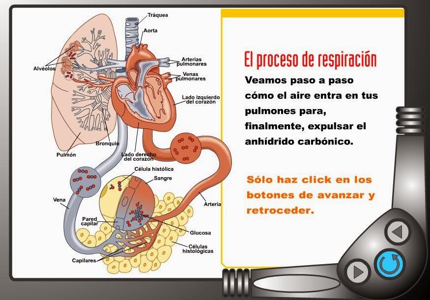 http://iesmjuancalero.juntaextremadura.net/archivos_insti/recurdptos/naturales/RESPIRACION.SWF