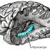 Novo estudo traz a controversa conclusão de que não existe criação de novos neurônios no hipocampo de adultos