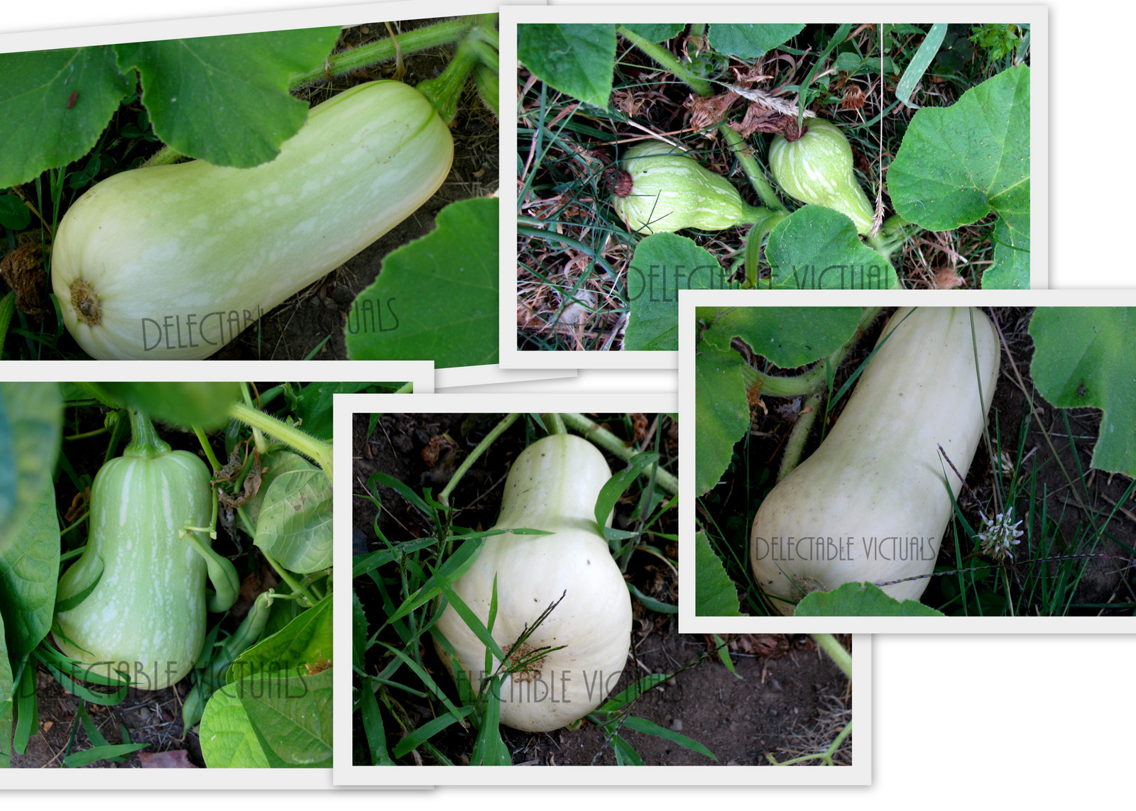Hyacinth Beans with Home-garden Butternut Squash