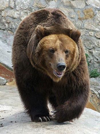 Brown bears |Funny Animal