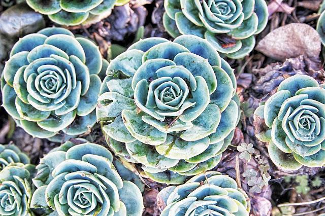 Ali'i Kula Lavender flowers