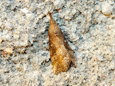 https://www.biodiversidadvirtual.org/insectarium/Hypena-obesalis-img970776.html