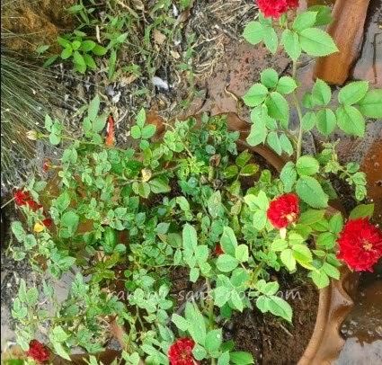 a-hybrid-rose.jpg