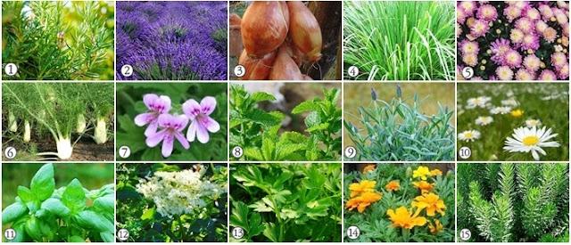 Plantas repelentes do jardim e da horta