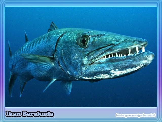 gambar ikan barakuda